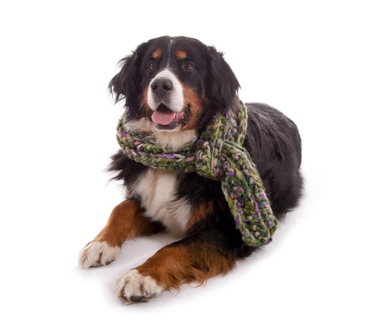 Hundekrankenversicherung für Berner Sennenhund