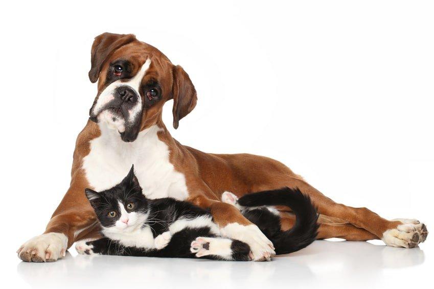 Hundekrankenversicherung für Boxer