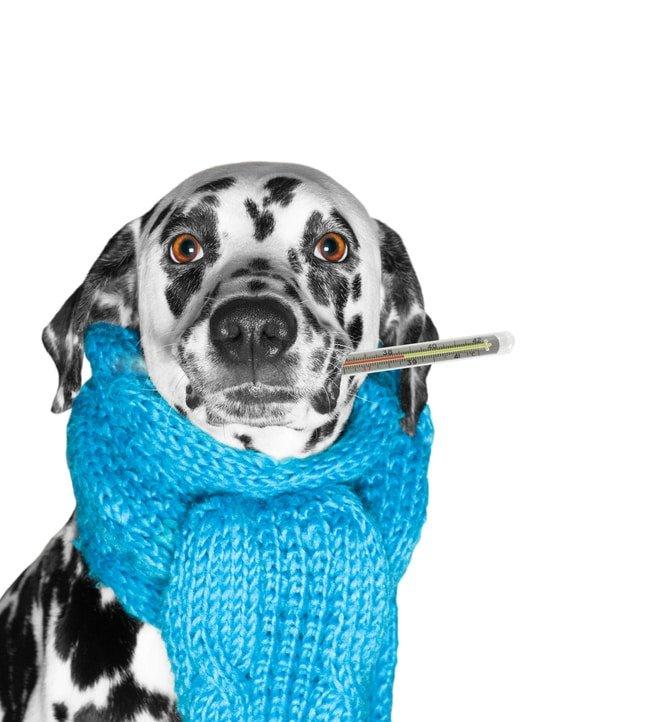 Hundekrankenversicherung für Dalmatiner