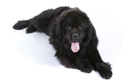 Hundekrankenversicherung für Neufundländer