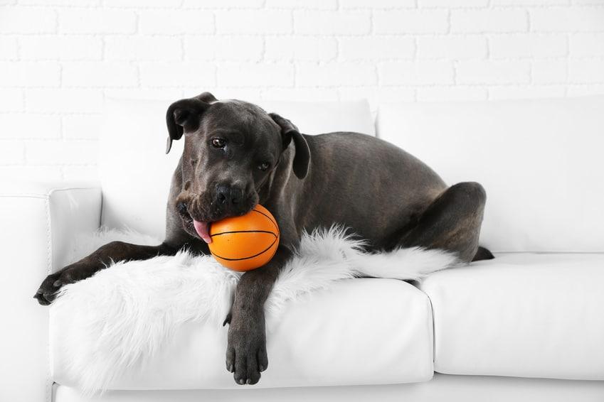 Hundekrankenversicherung für Cane Corso