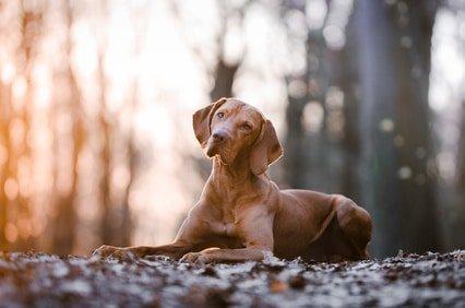 Mit der Hundekrankenversicherung für Magyar Vizsla lässt sich das Leben sorgenfrei genießen!