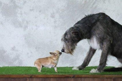 """Schützen Sie Ihren """"sanften Riesen"""" mit der Hundekrankenversicherung für Irischer Wolfshund"""