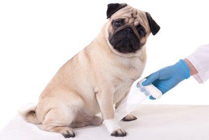 Hundekrankenversicherung für Mops