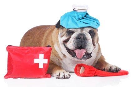 Hundekrankenversicherung für englische Bulldogge