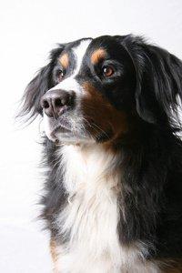 Hundekrankenversicherung Sennenhund