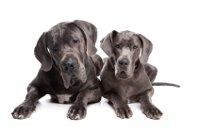 Krankheiten bei der Dogge