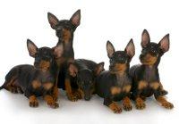 Hundekrankenversicherung für Doberman