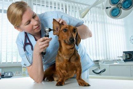 Hundekrankenversicherung für Dackel