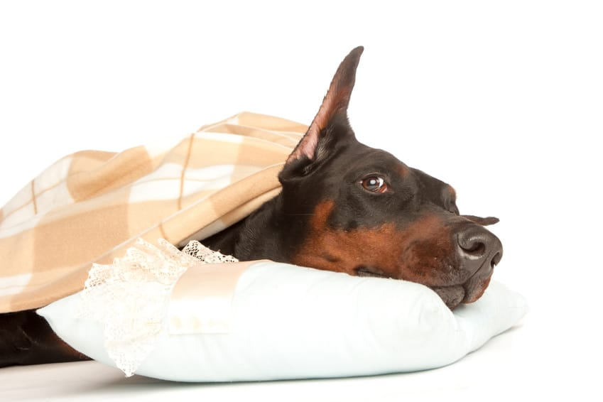 Hundekrankenversicherung für Dobermann