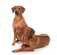 Hundekrankenversicherung Rhodesian Ridgeback