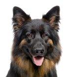 Hundekrankenversicherung Schäferhund